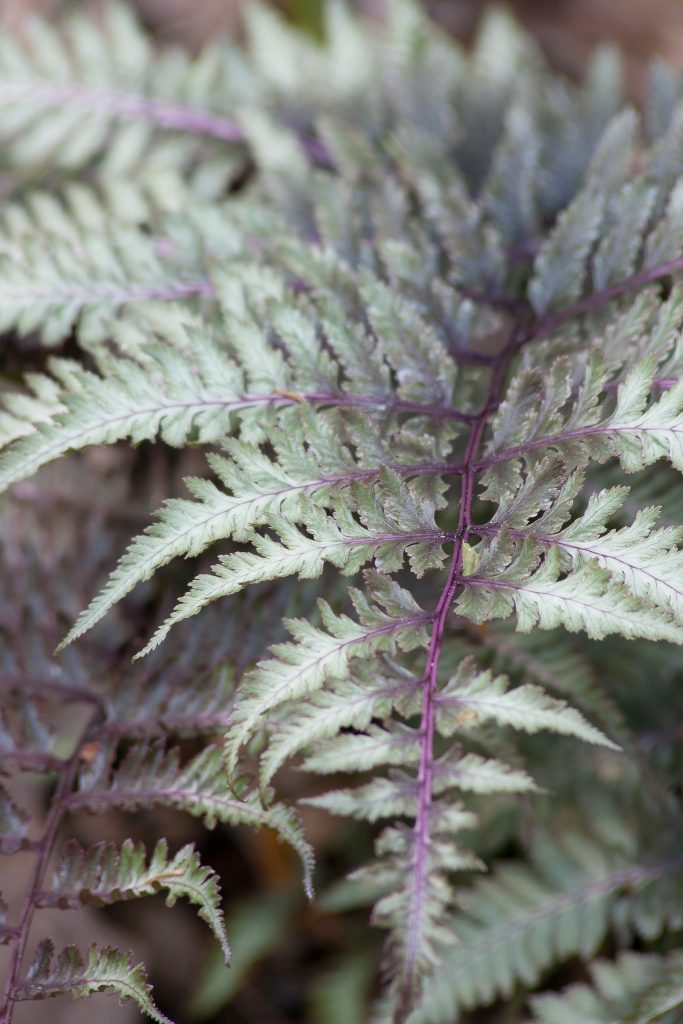 Japanischer Regenbogenfarn (Athyrium niponicum 'Metallicum')