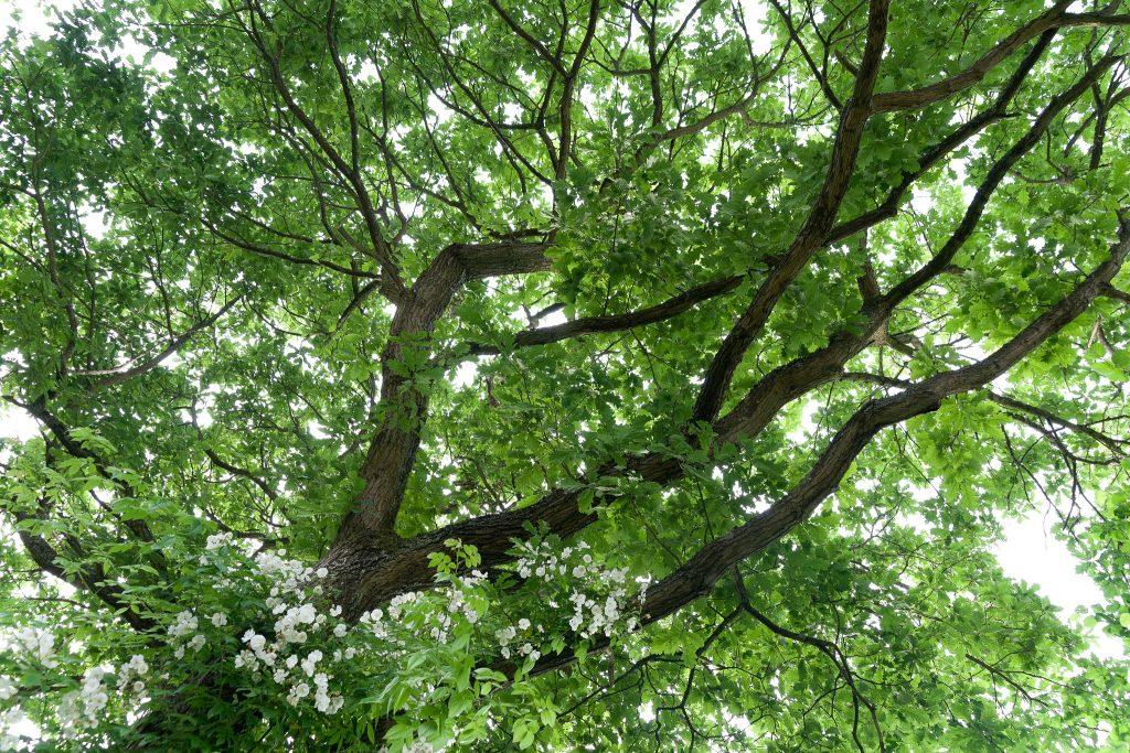 Die Ramblerrose 'Bobby James' beginnt die alte Stieleiche (Quercus robur) zu erklimmen.