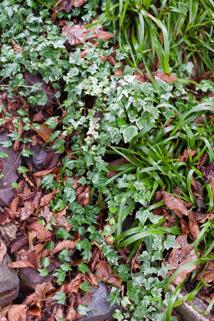 Immergrün: Verschiedene Efeu Sorten (Hedera) sowie Waldmarbel (Luzula sylvatica).