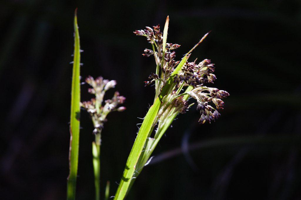 Waldmarbel (Luzula sylvatica)