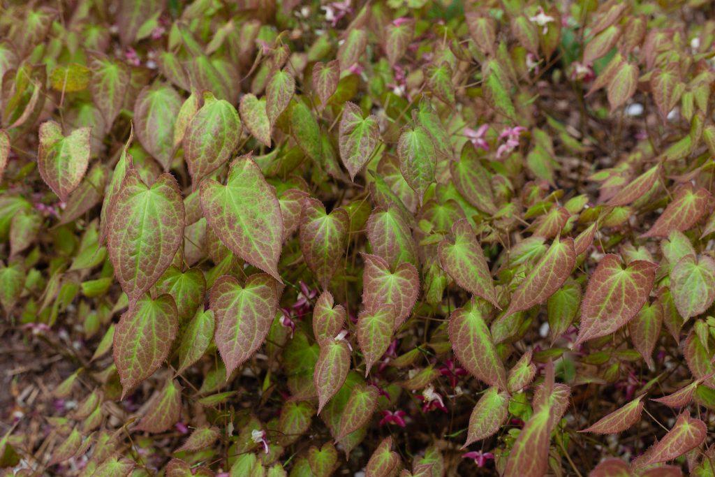 Elfenblume (Epimedium x rubrum)