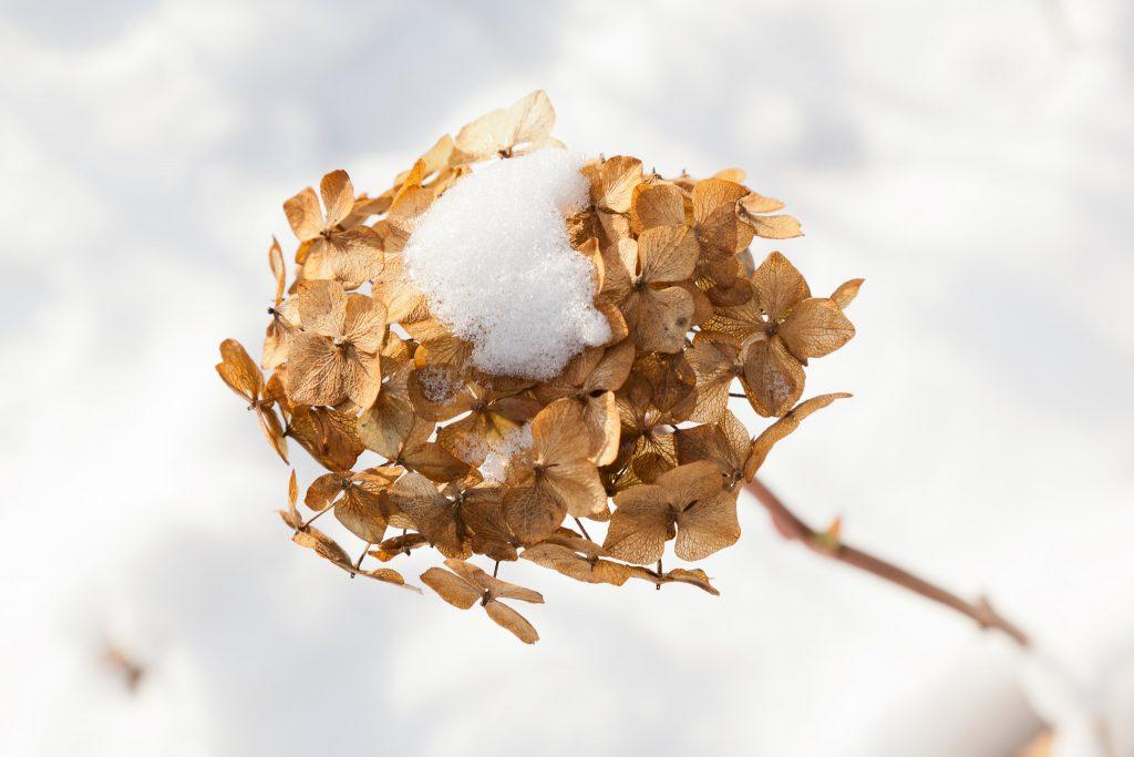 Hortensienblüten, auch im Winter attraktiv.