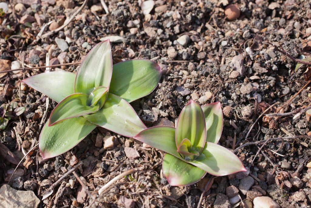 Mitte März: Die Frühlingssonne kitzelt die Allium 'Globemaster' (Zierlauch) aus dem Boden.