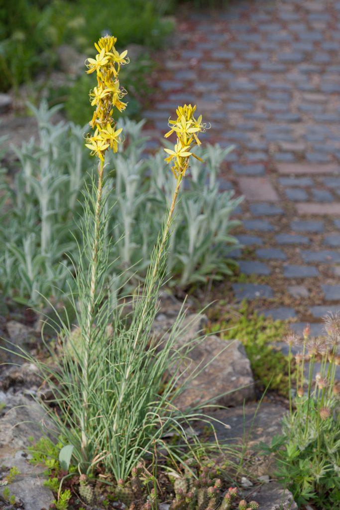 Asphodeline lutea (Junkerlilie)