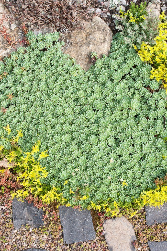 Sedum pachyclados (Dickrosettiges Fettblatt) umgeben von Sedum acre (Scharfer Mauerpfeffer)