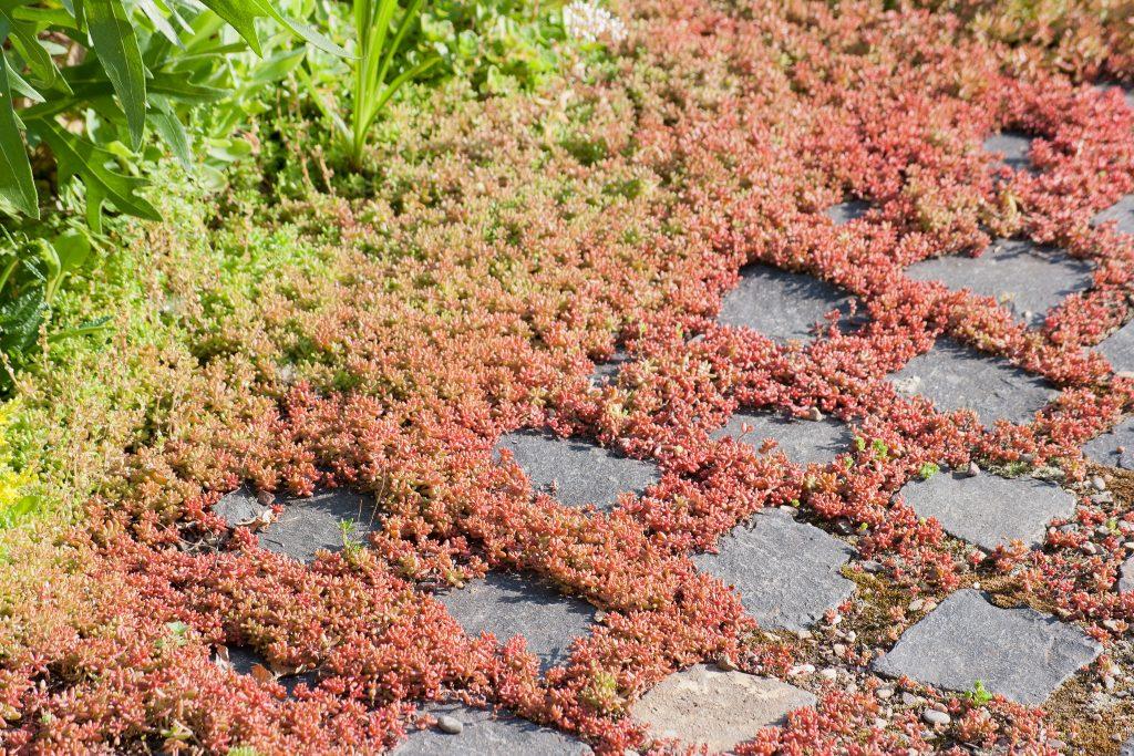 Sedum album 'Coral Carpet' (Rotmoos-Mauerpfeffer)