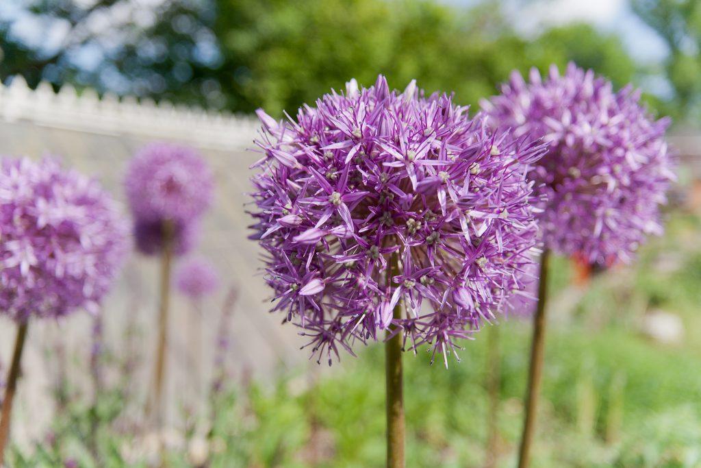 Allium 'Globemaster' (Zierlauch)