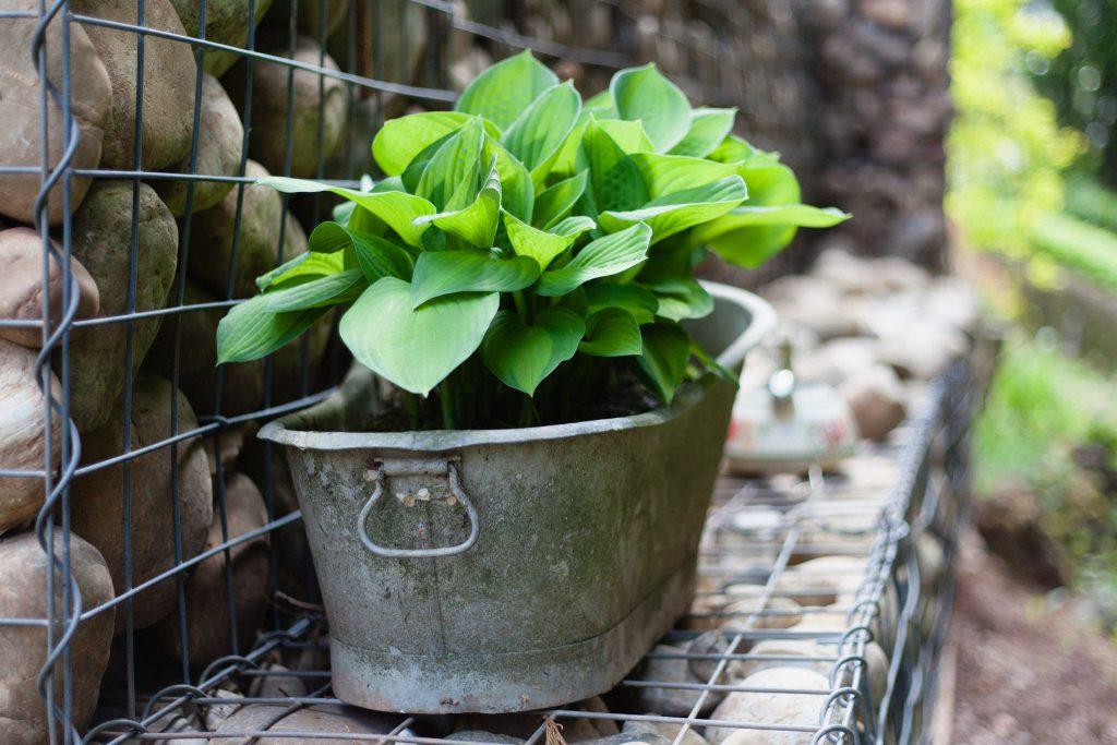 Eine mit Funkien (Hosta) bepflanzte Zinkwanne auf der Gabionenwand.
