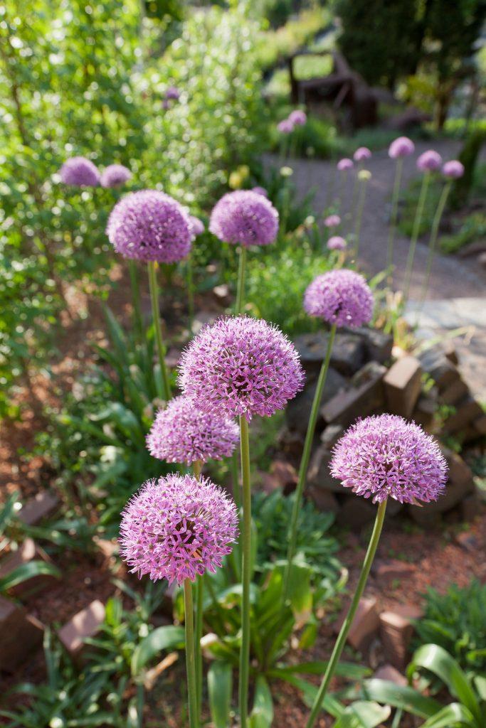 Punkt für Punkt Akzente: Allium 'Gladiator'