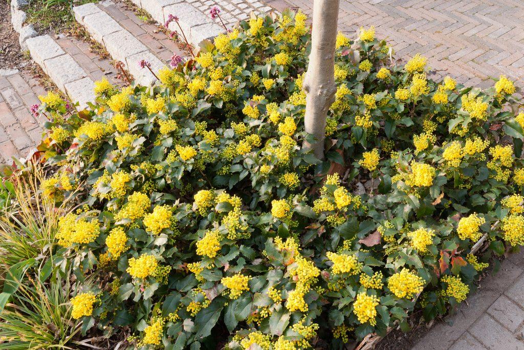 Mahonia aquifolium 'Apollo' (Zwergmahonie) als Baumscheibenbepflanzung