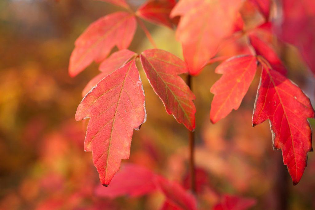Acer griseum (Zimt-Ahorn)