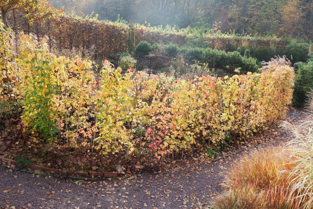 Liquidambar styraciflua (Amerikanischer Amberbaum) als Hecke