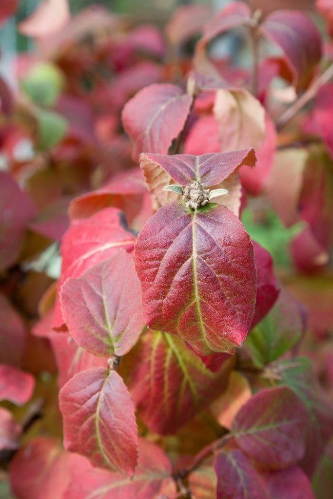 Viburnum carlesii (Koreanischer Duft-Schneeball)