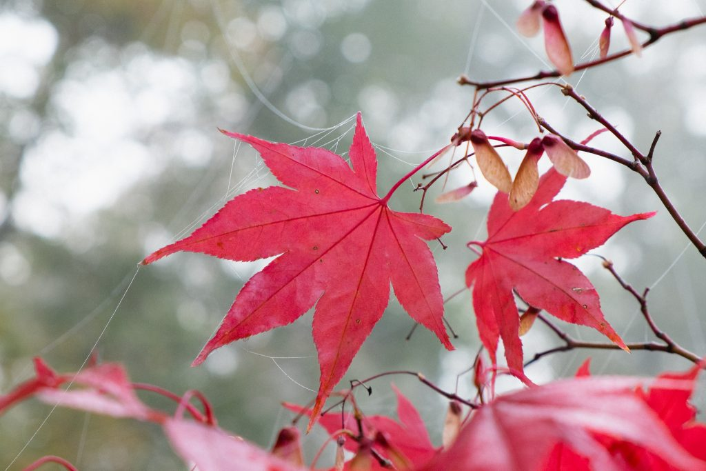 Acer palmatum 'Osakazuki' (Japanischer Fächerahorn)