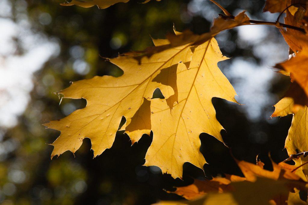 Quercus rubra 'Magic Fire' (Rot Rindige Amerikanische Eiche)