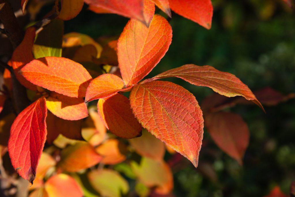 Stewartia pseudocamellia (Japanische Scheinkamelie)
