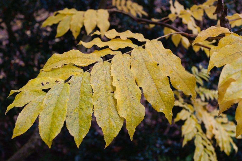 Pterocarya fraxinifolia (Kaukasische Flügelnuss)