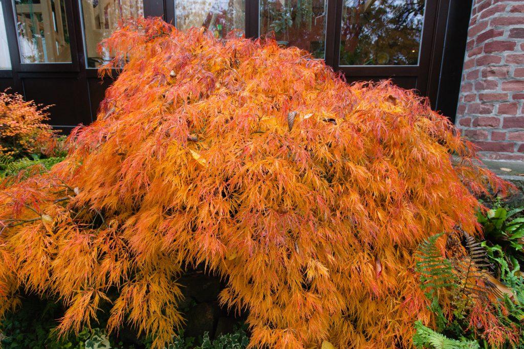 Acer palmatum 'Viridis' (Japanischer Schlitzahorn)