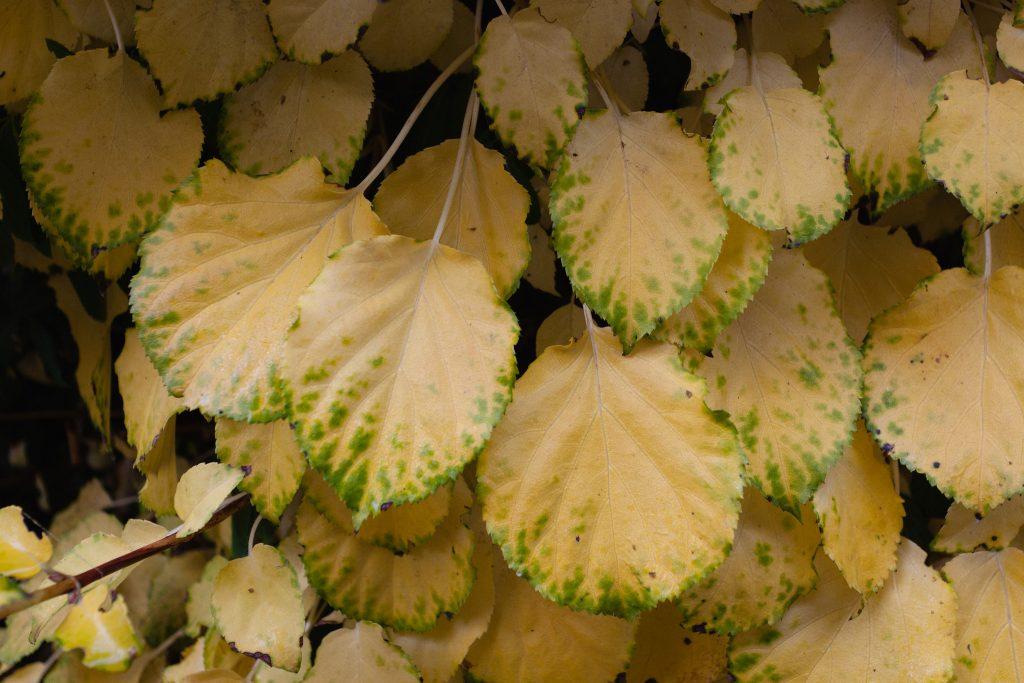 Hydrangea petiolaris (Kletterhortensie)