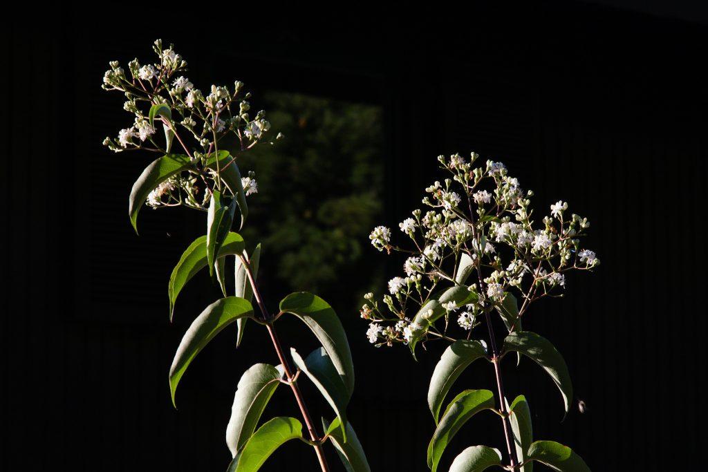 Blüte von Heptacodium miconioides (Sieben-Söhne-des-Himmels-Strauch) im September.