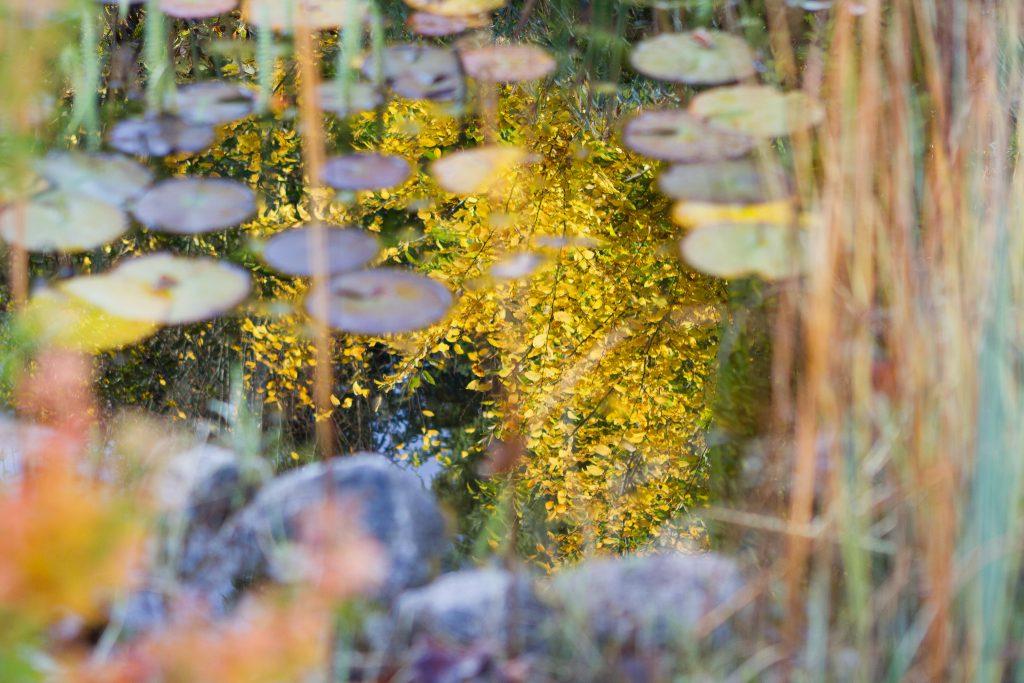 Der gelbe Herbstlaub der Hainbuchenhecke (Carpinus betulus) spiegelt sich im Wasser.