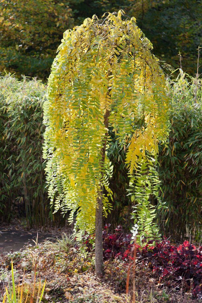Die Blätter des Trauer-Schnurbaums (Sophora japonica 'Pendula') an der Terrasse verfärben sich im Herbst leuchtend gelb.