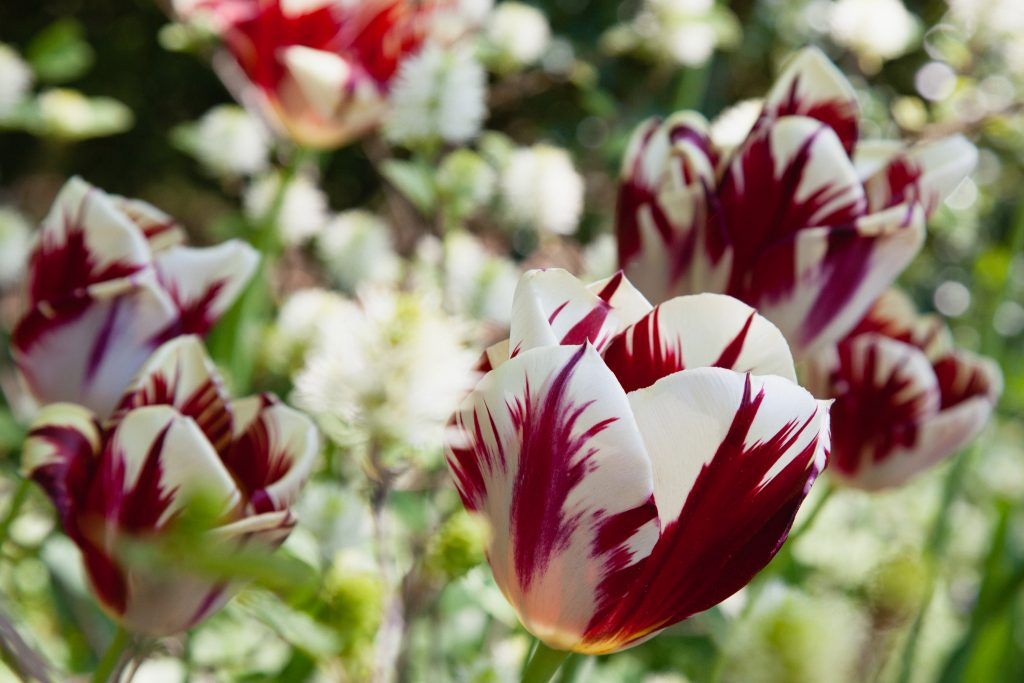 Tulipa 'Grand Perfection' (Tulpe)