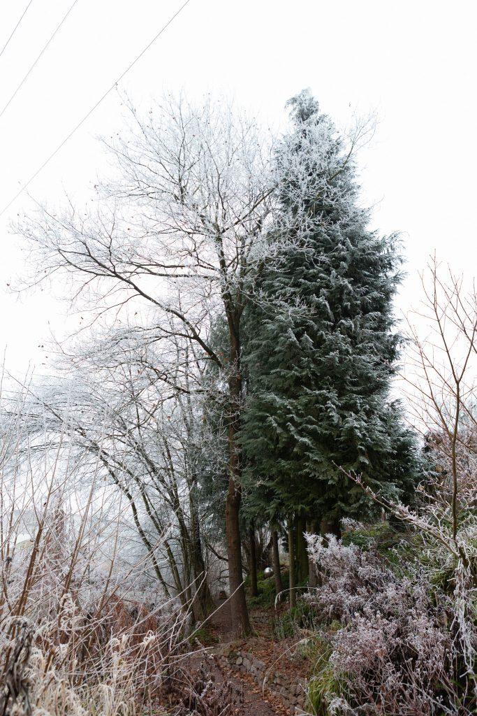 Auch im Winter grün: Chamaecyparis lawsoniana (Lawsons Scheinzypresse) im Waldgarten
