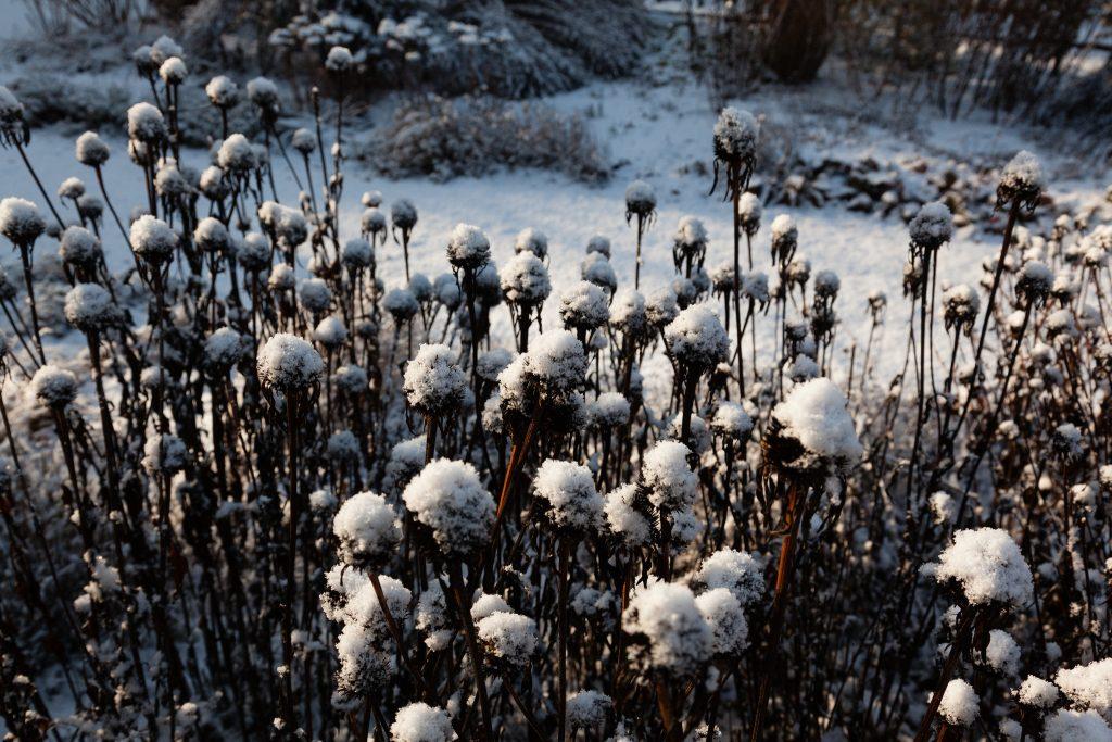 """Echinacea purpurea 'Alba' (Weißer Sonnenhut) mit """"Schneehaube"""""""