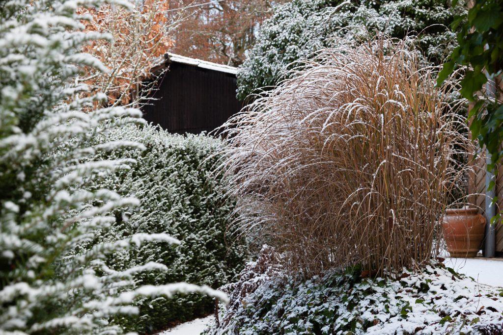 Das Miscanthus sinensis 'Gracillimus' (Chinaschilf) an Hubert Langhirts Terrasse ist schon über 25 Jahre alt und immer noch ein attraktiver Solitär. Die Hecke aus Taxus baccata 'Höpkens Gigant', eine rasch wachsende Eibensorte, fungiert als Sichtschutz.