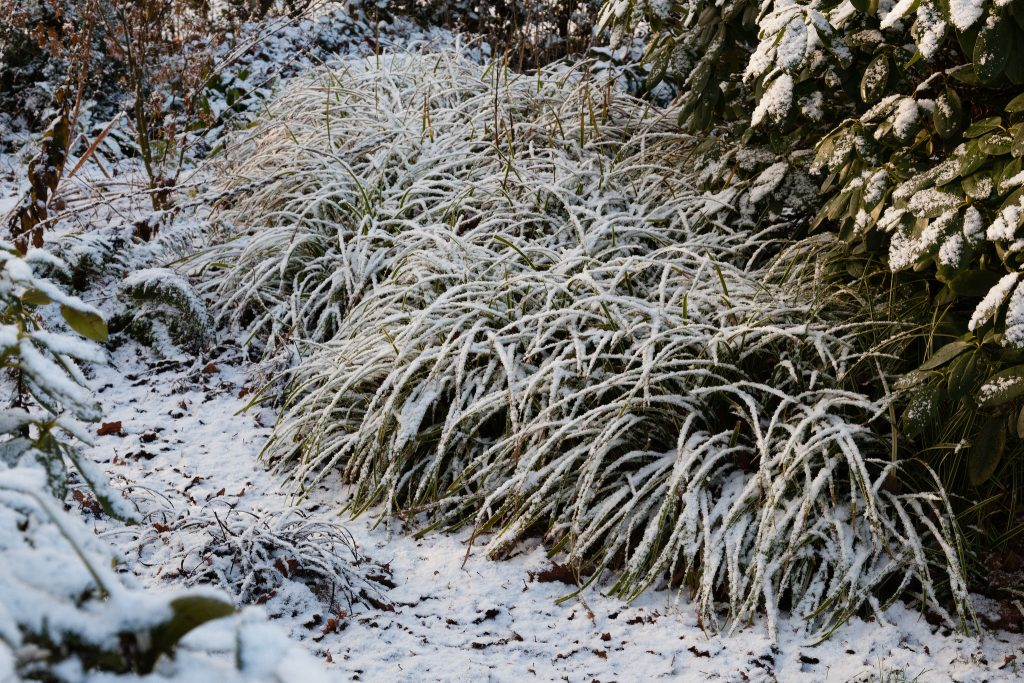 Carex morrowii ssp. foliosissima 'Icedance' (Teppich-Japan-Segge)