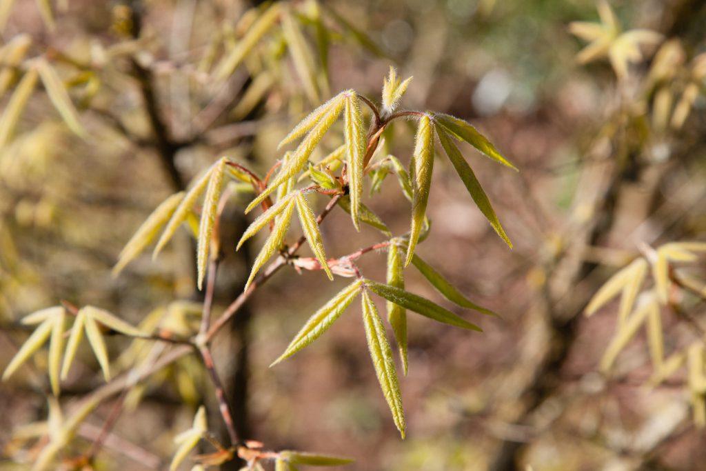 Acer triflorum (Dreiblütiger Ahorn) im Laubaustrieb