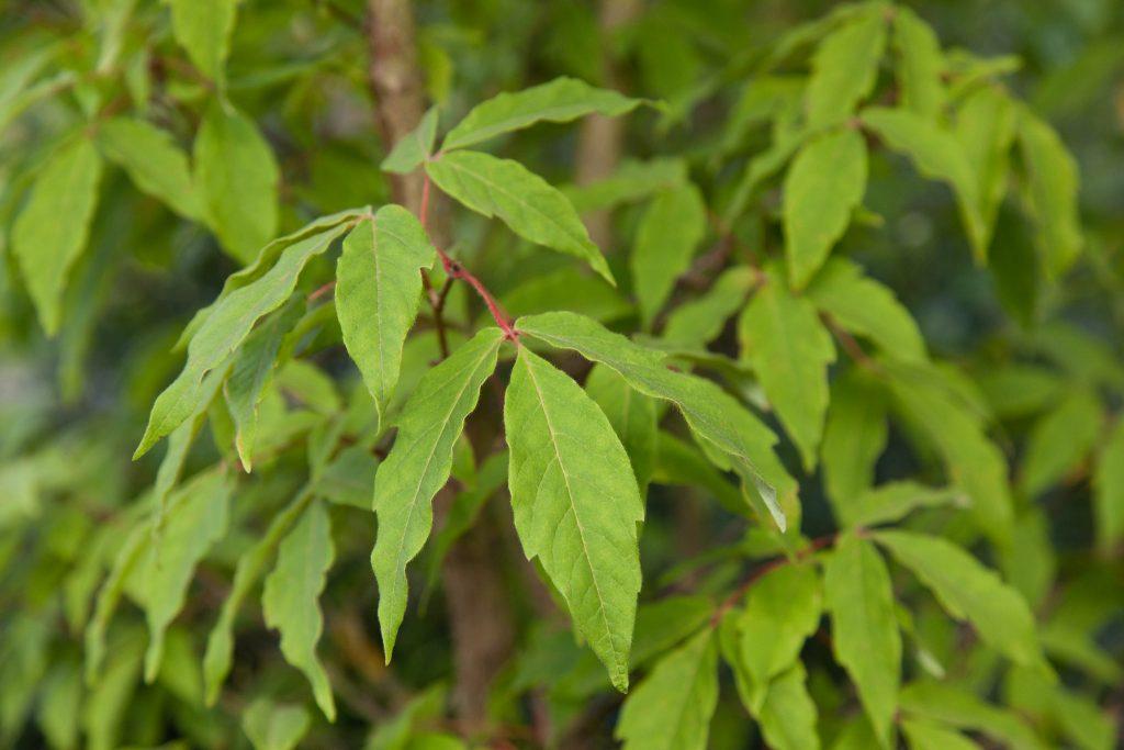 Acer triflorum (Dreiblütiger Ahorn)