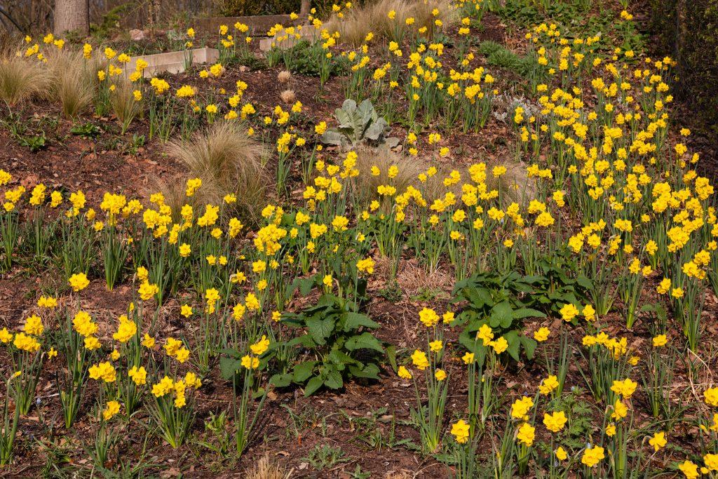 Narzissenblüte Anfang April