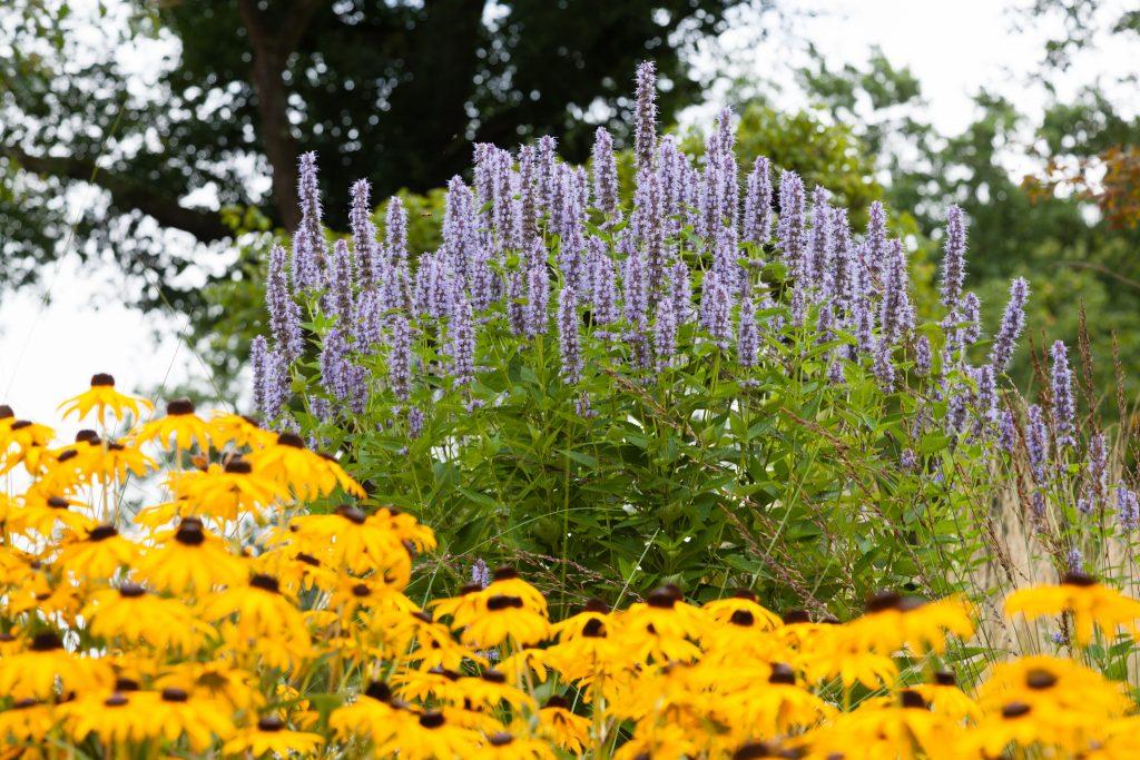 Ein schönes Paar: Agastache Rugosa-Hybride 'Blue Fortune' (Blaunessel) und Rudbeckia fulgida var. sullivantii 'Goldsturm' (Sonnenhut)