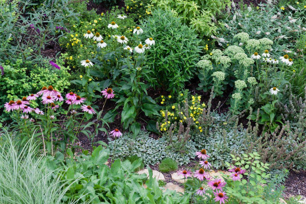 Abwechslungsreiche Pflanzkombination: Echinacea purpurea 'Alba' (Weißer Sonnenhut), Caryopteris clandonensis 'Blue Balloon' (Bartblume), Potentilla fruticosa 'Kobold' (Fingerstrauch), Sedum telephium 'Herbstfreude' (Hohes-Fettblatt) unterpflanzt mit Stachys byzantina 'Silky Fleece' (Zwerg-Woll-Ziest). Im Vordergrund: Echinacea purpurea (Purpursonnenhut)