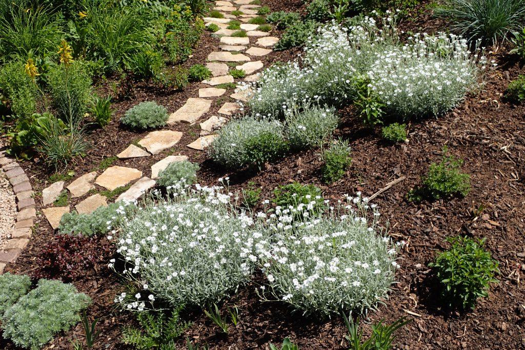 Cerastium tomentosum 'Silberteppich' (Silber-Hornkraut)