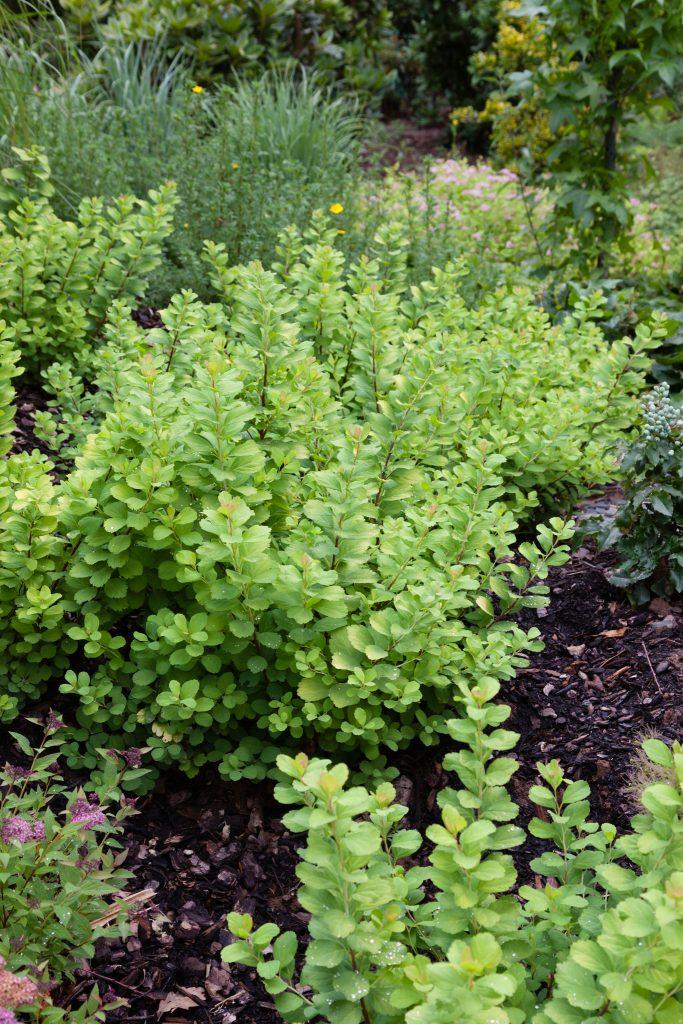 Spiraea betulifolia 'Tor Gold' (Gelber birkenblättriger Spierstrauch)