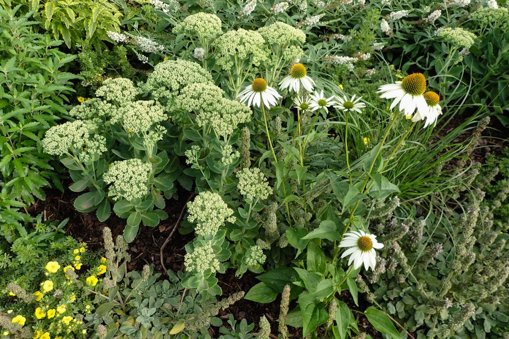 Sedum telephium 'Herbstfreude' (Hohes-Fettblatt) und Echinacea purpurea 'Alba' (Weißer Sonnenhut)