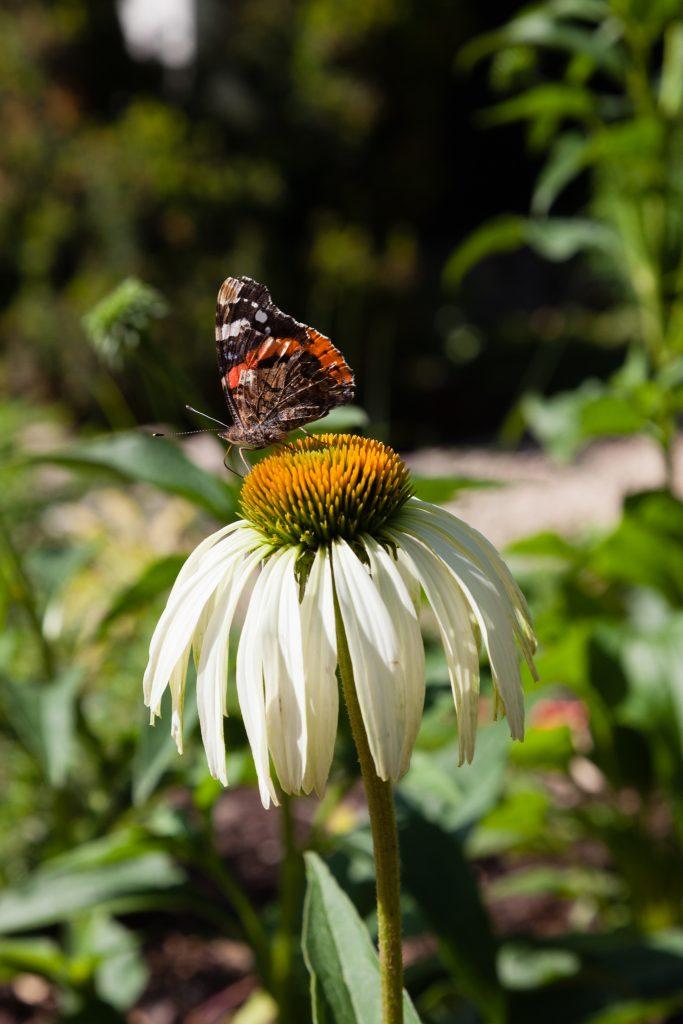 Echinacea purpurea 'Alba' (Weißer Sonnenhut) bekommt Besuch von einem Admiral (Vanessa atalanta)