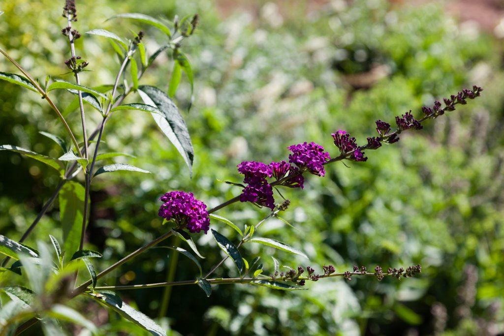 Erste Blüten von Buddleja davidii 'Royal Red' (Sommerflieder)