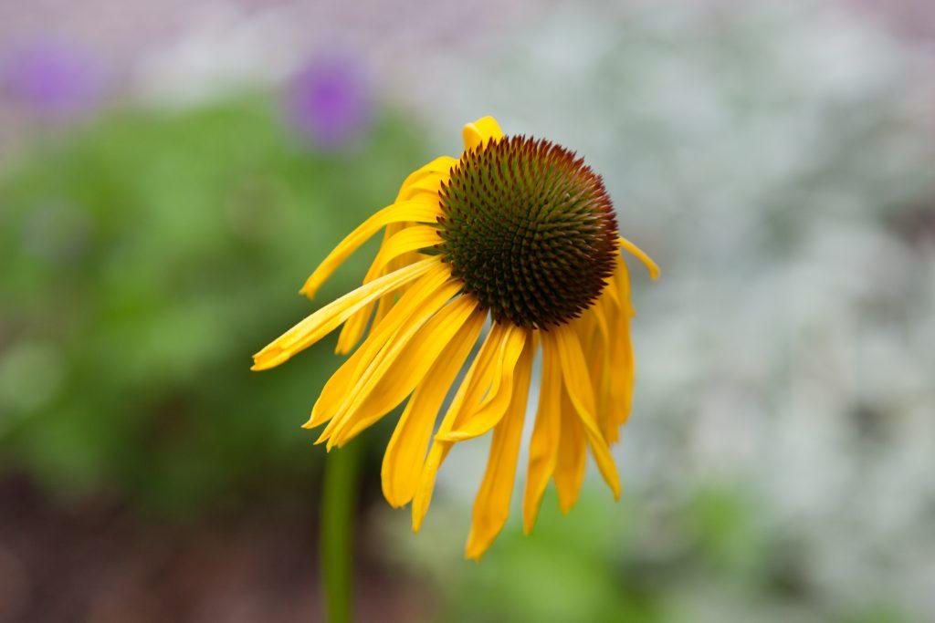 Die Wildart Echinacea paradoxa (Gelber Sonnenhut) stammt aus Arkansas (USA).