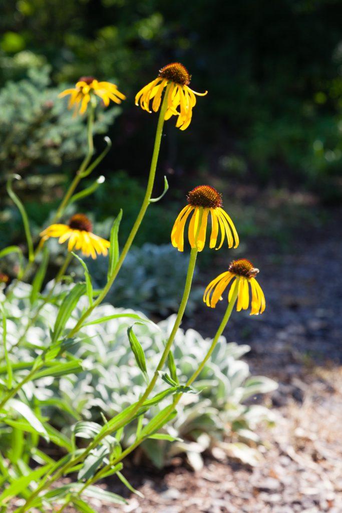 Echinacea paradoxa (Gelber Sonnenhut)
