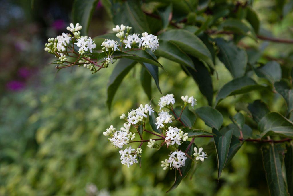 Heptacodium miconioides (Sieben-Söhne-des-Himmels-Strauch)