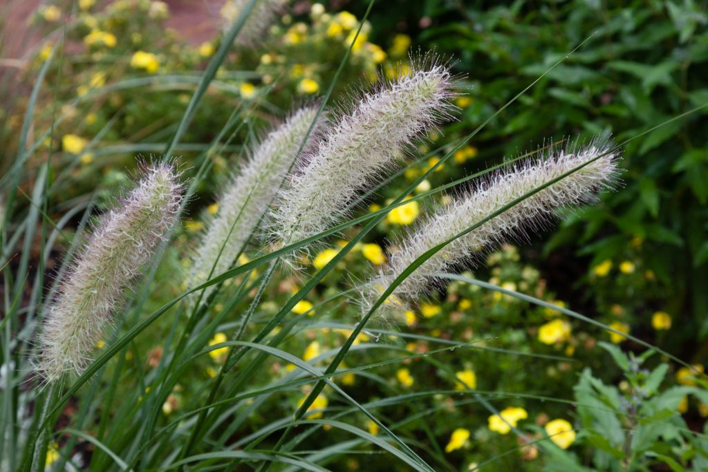 Pennisetum alopecuroides 'Hameln' (Lampenputzergras)
