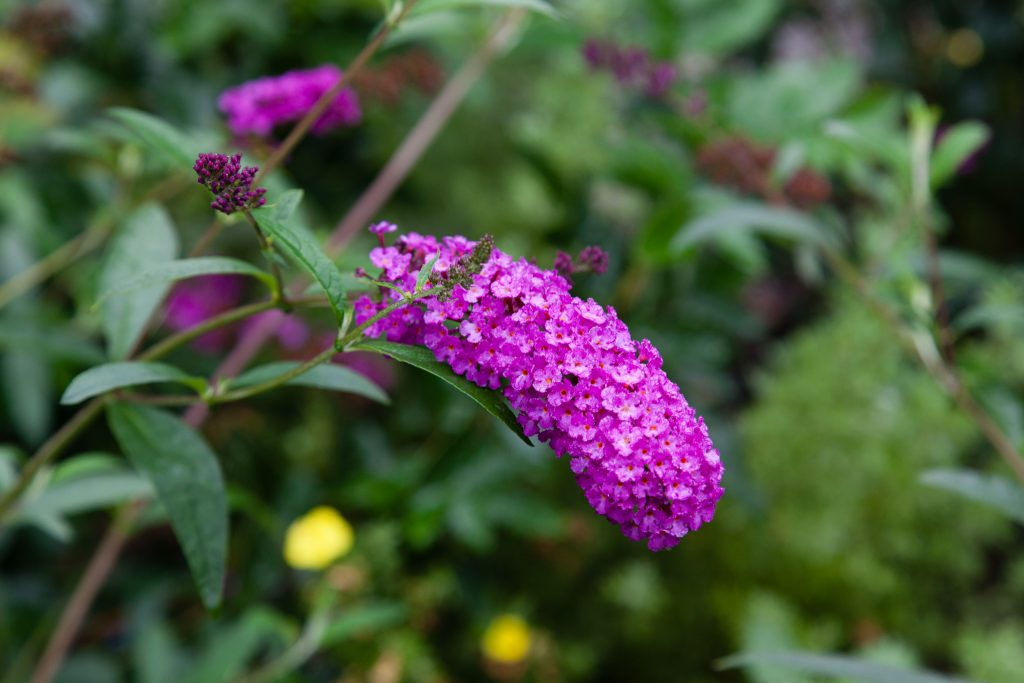 Buddleja davidii 'Royal Red' (Sommerflieder)