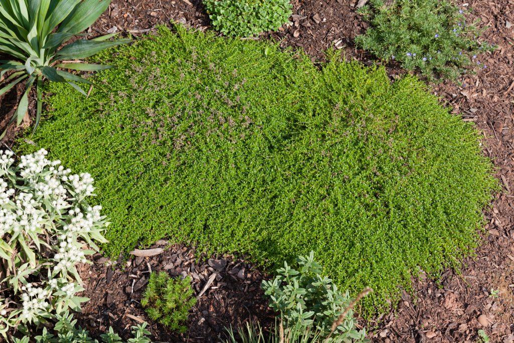 Thymus serpyllum 'Albus' (Weißer Sand-Thymian)