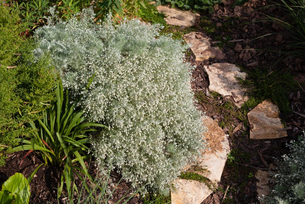 Artemisia schmidtiana 'Nana' (Polster-Silberraute)