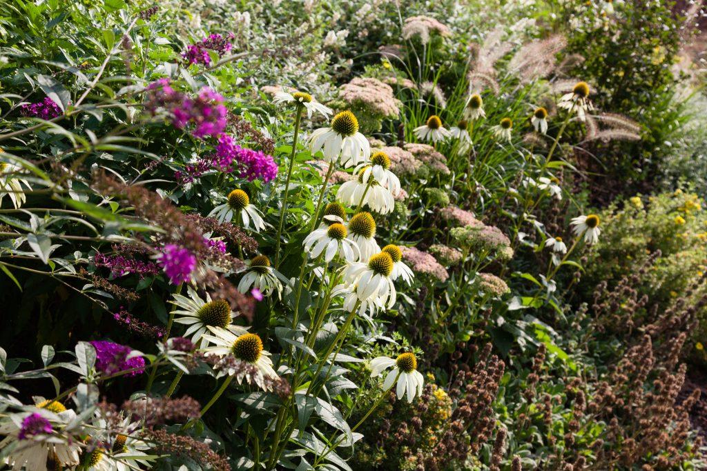 Buddleja davidii 'Royal Red' (Sommerflieder), Echinacea purpurea 'Alba' (Weißer Sonnenhut), im Hintergrund Sedum telephium 'Herbstfreude' (Hohes-Fettblatt) und Pennisetum alopecuroides 'Hameln' (Lampenputzergras)