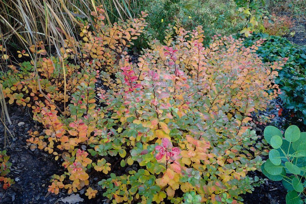 Herbstfärbung von Spiraea betulifolia 'Tor Gold' (Gelber birkenblättriger Spierstrauch)